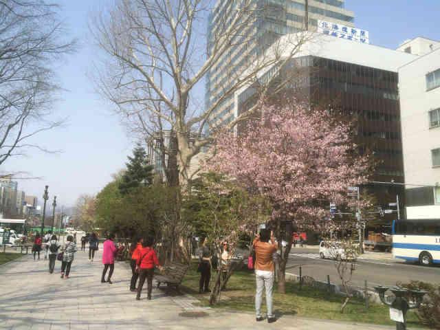 大通公園で満開の桜の花にカメラを向ける外国人観光客